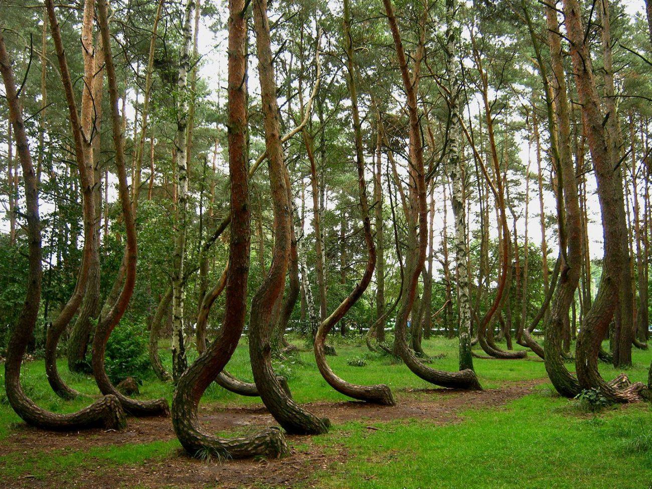 Кривой лес