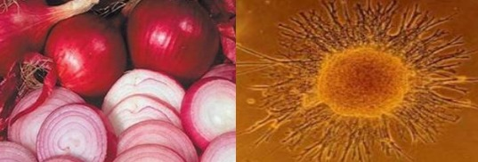 Лук - Клетки организма
